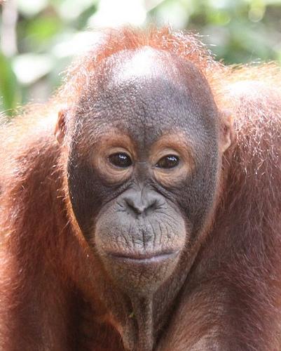 orangutanes.jpg