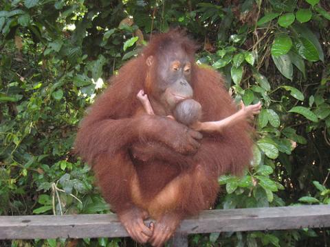 orangutan-borneo.jpg