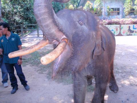 elefante-pigmeo.jpg